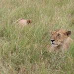 【動物好き必見】ケニア・マサイマラ国立公園をサファリドライブ!!!